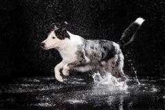 Estudio de la aguamarina, border collie en el fondo oscuro con lluvia Foto de archivo