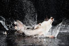 Estudio de la aguamarina, border collie en el fondo oscuro con lluvia Fotografía de archivo
