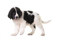 Estudio del perro del landseer del perrito Fotografía de archivo