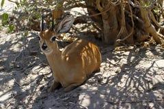 Estudio en el campo de un antílope del Steenbok Foto de archivo