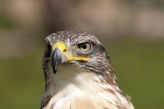 Estudio principal frontal de un halcón ferruginoso. Foto de archivo
