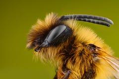 Estudio sostenido y detallado extremo de la abeja fotos de archivo libres de regalías
