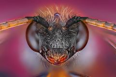 Estudo afiado e detalhado extremo da cabeça da abelha imagens de stock