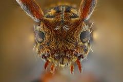 Estudo afiado e detalhado extremo de Pogonocherus fotografia de stock royalty free