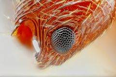 Estudo afiado e detalhado extremo do olho da formiga de Myrmica   imagens de stock royalty free