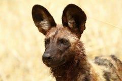 Estudo africano da cabeça de cão selvagem Imagens de Stock