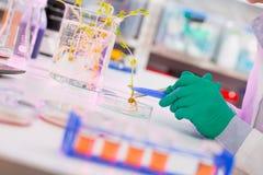 Estudo da mulher de plantas alteradas genéticas de GMO no laboratório foto de stock royalty free