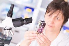 Estudo da mulher de plantas alteradas genéticas de GMO no laborator Foto de Stock Royalty Free