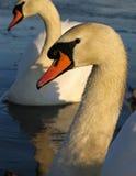Estudo das cisnes Imagens de Stock Royalty Free