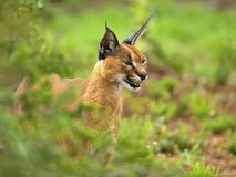 Estudo de Caracal Foto de Stock Royalty Free