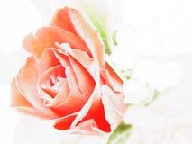 Estudo de Rosa Imagens de Stock