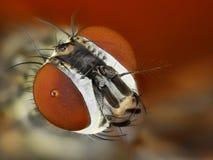 Estudo detalhado da cabeça da mosca empilhado de muitas imagens em uma foto afiada imagens de stock