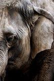 Estudo do elefante asiático foto de stock