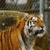 Estudo principal do tigre Siberian Imagem de Stock Royalty Free