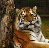 Estudo principal do tigre Siberian Imagens de Stock Royalty Free