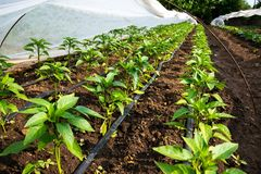 Estufa com irrigação da planta e de gotejamento da pimenta imagens de stock royalty free