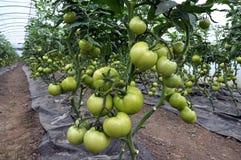 Estufa do policarbonato para tomates crescentes Fotografia de Stock