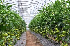Estufa do policarbonato para tomates crescentes Foto de Stock Royalty Free