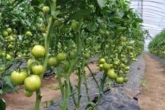 Estufa do policarbonato para tomates crescentes Imagem de Stock