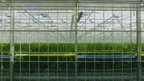 Estufa industrial com mesmo fileiras das plantas para dentro Cultivo moderno: pepinos crescentes em uma estufa automatizada video estoque