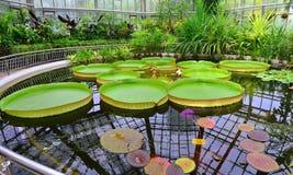 Estufa - lírio de água gigante imagens de stock royalty free