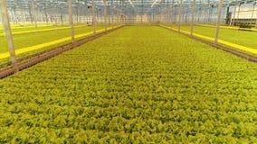 Estufa moderna completamente de plantas da alface, do ângulo alto video estoque