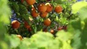 Estufa para cultivo de laranjas video estoque