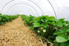 Estufa para o cultivo da morango Foto de Stock