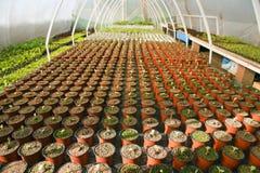 Estufa para vegetais - melancia fotografia de stock royalty free