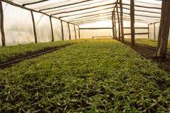 Estufas vegetais com as plantas de tomate novas Imagem de Stock Royalty Free