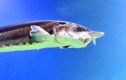 Esturjão da beluga Fotografia de Stock Royalty Free