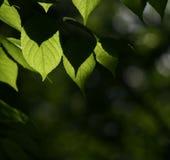 Esverdeie as folhas Fotos de Stock