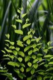 Esverdeie as folhas Imagem de Stock Royalty Free
