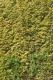 Esverdeie as folhas da hera em uma parede Fotos de Stock Royalty Free