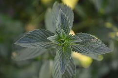Esverdeie as folhas de hortel? imagem de stock royalty free