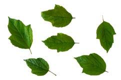 Esverdeie as folhas isoladas Fotos de Stock
