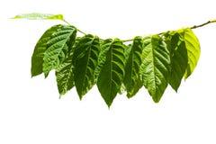Esverdeie as folhas isoladas Fotos de Stock Royalty Free