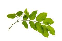 Esverdeie as folhas isoladas Fotografia de Stock Royalty Free