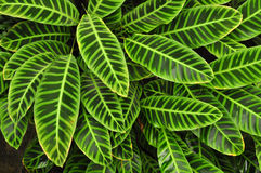 Esverdeie as folhas tropicais, fundo Fotos de Stock
