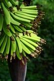 Esverdeie a banana Foto de Stock Royalty Free