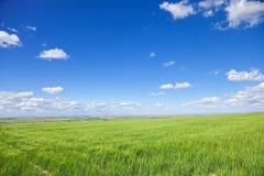 Esverdeie campos de trigo na mola fotografia de stock