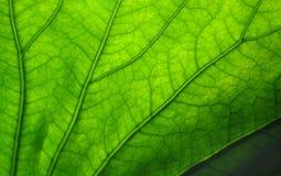 Esverdeie a folha Foto de Stock
