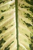 Esverdeie a folha - Dieffenbachia Foto de Stock
