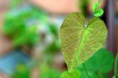 Esverdeie a folha do coração Fotos de Stock Royalty Free