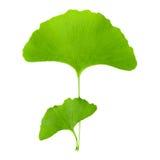 Esverdeie a folha do ginkgo Foto de Stock