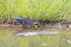 Esverdeie a garça-real suportada que caça com cuidado peixes na água pouco profunda Imagens de Stock