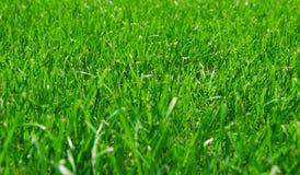 Esverdeie a grama luxúria Fotos de Stock