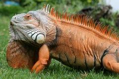 Esverdeie a iguana fotos de stock royalty free