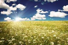 Esverdeie o campo com flores de florescência e o céu azul Fotos de Stock