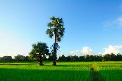 Esverdeie o campo de milho Imagem de Stock